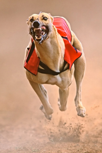 http://www.lovegreyhounds.co.uk/images/greyhound1.jpg